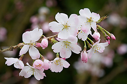 Prunus 'Pandora' in blossom. Flowering Cherry