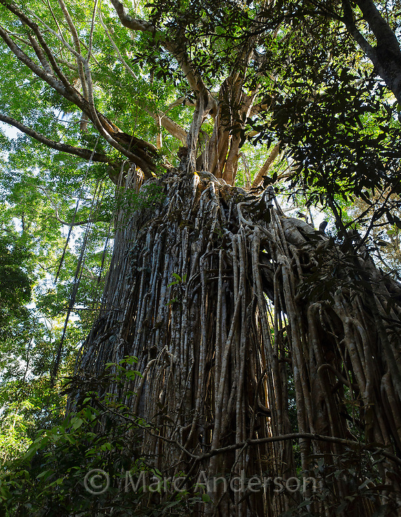 Curtain Fig Tree, a giant strangler fig (Ficus virens)on the Atherton Tablelands, Queensland, Australia