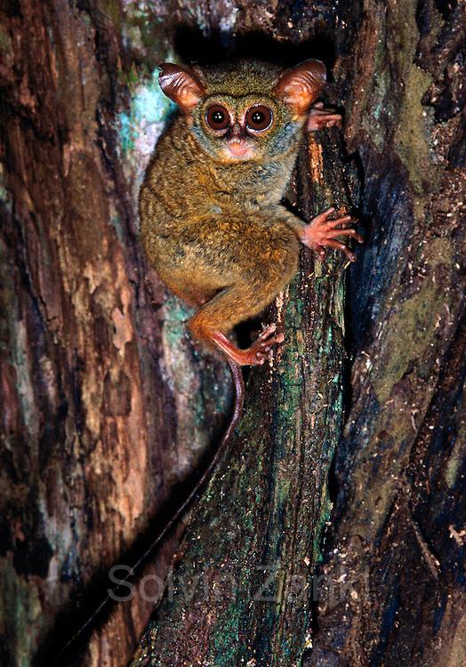 Spectral or Sulawesi Tarsier, (Tarsius spectrum), in the rainforest, Tangkoko Nature Reserve, Sulawesi, Indonesia  | Celebes-Koboldmaki