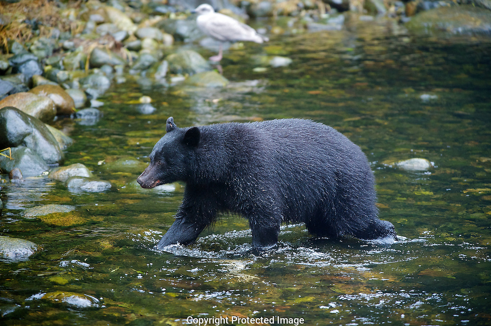 Black Bear. (Ursus americanus), Comox Valley, British Columbia, Canada, Isobel Springett
