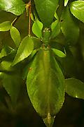 monteith's lef insect, female, kuranda, north queensland