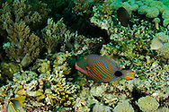 Undulate Triggerfish, Balistapus undulatus, Bali Indonesia