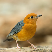 Orange-headed thrush (Geokichla citrine) in Kaeng Krachan National Park, Thailand.