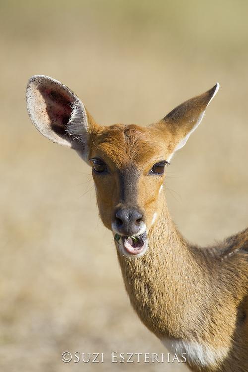 Bushbuck<br /> Tragelaphus scriptus<br /> Mala Mala Reserve, South Africa