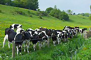 Young cows in meadow in The Cotswolds at Swinbrook, Oxfordshire, UK