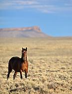 Wyoming Mustang Bay Stallion