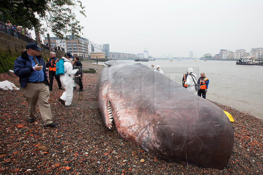 © Licensed to London News Pictures. 20/06/2013. London, UK.  A life sized, 17 metre, sperm whale is seen being sprayed with water by actors on the banks of the Thames in Greenwich London today (20/06/2013).  The art installation, attended to by members of the 'Captain Boomer Collective' in collaboration with the 'Zephyr Wildlife Reconstruction' as part of the Greenwich and Docklands International Festival, was 'beached' by crane today and will remain in place until the weekend where it will be on display on the lawns of the Royal Naval College where it will become part of the Greenwich Fair. Photo credit: Matt Cetti-Roberts/LNP