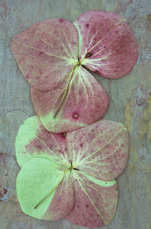 Two burgundy and green florets from flowerhead of Hydrangea lying face down on marbled slate