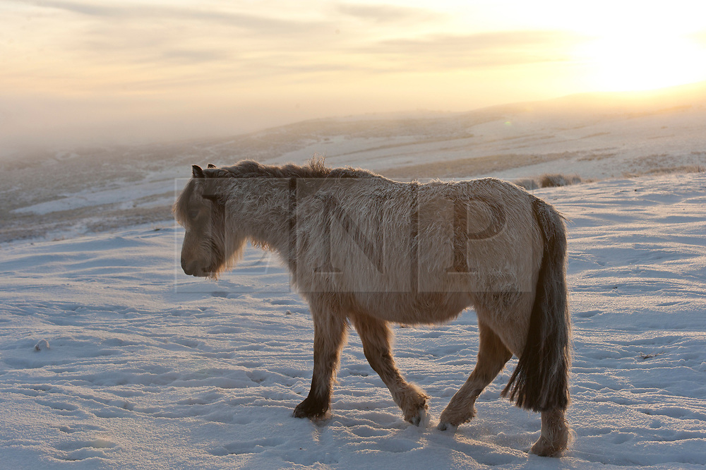 © Licensed to London News Pictures. 31/01/2019. Builth Wells, Powys, Wales, UK. Hardy Welsh mountain ponies are seen in the bitterly cold wintry landscape of the Mynydd Epynt range near Builth Wells in Powys, Wales, UK where temperatures dropped dramatically overnight to minus seven degrees centigrade (temperature certified by photographer) <br />