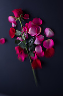 Still Life Roses photo print, pink, red, flowers, petals, Santa Monica wall art photography limited edition matted print, fine art, soft focus, bokeh.