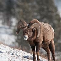 trophy bighorn ram feeding, head down, in the snow, winter habitat, rocky mountains wild rocky mountain big horn sheep
