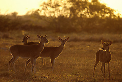 Stock photo of wild young buck deer in velvet grazing in a field at sunset