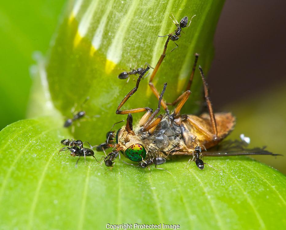 Horse Fly and Sugar ants. (Tabanus quinquevittatus), Courtenay, British Columbia, Canada, Photographer - Isobel Springett