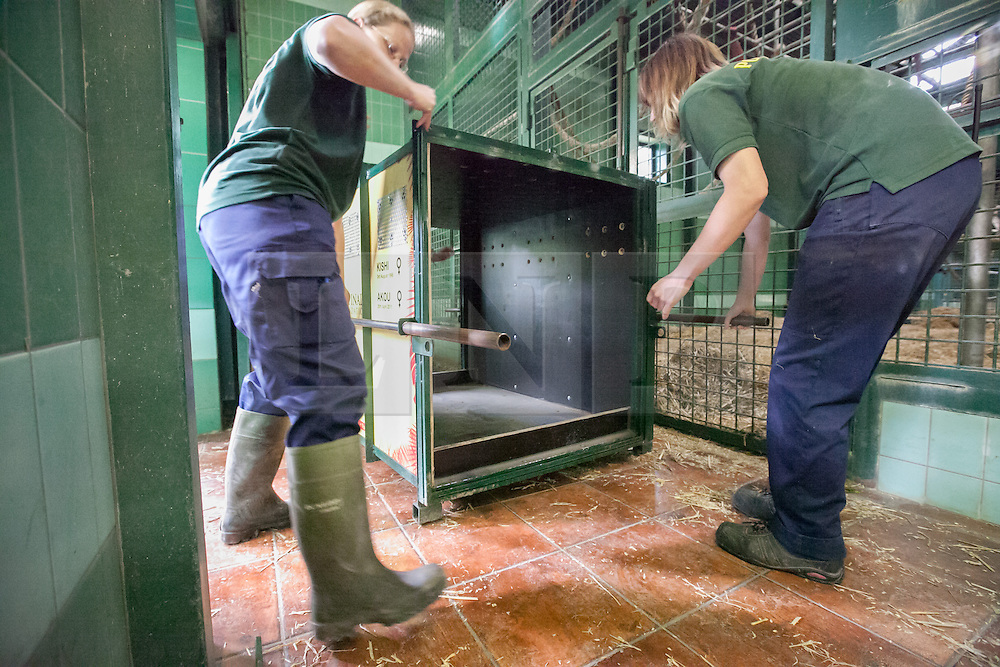© London News Pictures. 23/06/2013.Hythe, Kent, UK (EMBARGO UNTIL 24/06/13). Keepers at Port Lympne Wild Animal Park in Hythe, Kent position a crate for  the gorillas Kishi and Akou. A critically endangered western lowland gorilla family from Port Lympne Wild Animal Park are bound for Gabon in Africa as part of The Aspinal Foundation's Back to the Wild campaign. Djala, a 30 year old silverback, four mothers and four offspring embark on a unique 6,000 mile journey back to the wild courtesy of its partners DHL. Picture credit Manu Palomeque/LNP