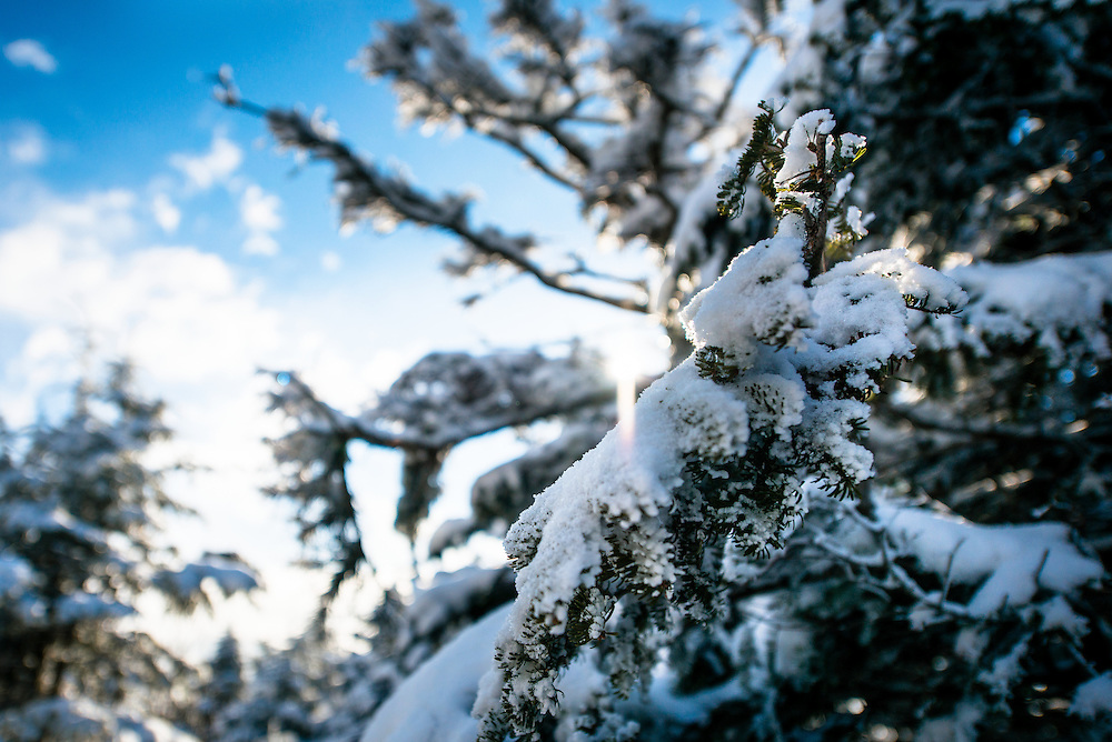Pine Tree on Mount Willey covered in Snow