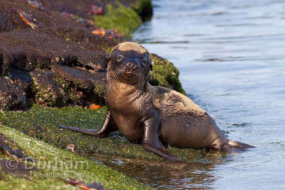 A young Galapagos sea lion (Zalophus californianus) on the beach of Fernandina Island, Galapagos Archipelago - Ecuador.