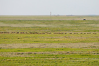 Mission: Saiga.Saiga (Saiga tatarica) herd in the steppe near Cherniye Zemly (Black Earth) Nature Reserve, Kalmykia, Russia, May 2009.Saiga tatarica
