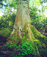 While on a hike through the lush green forest, I took a photo of this Smoky Mountain old growth tree. The giant moss covered trunk dwarfs the backwoods.