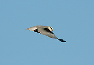 Black-shoulded Kite - Elanus caeruleus
