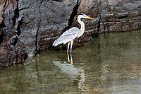Great Blue Heron bird wading and hunting, Galapagos. Wildlife and animal photography wall art for sale. Fine art photography prints, stock images.