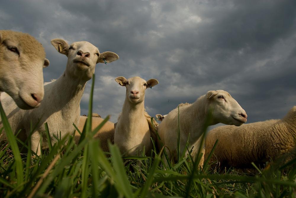 Sheep grazing in pasture