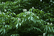 Indian Horse-chestnut Aesculus indica (Hippocastanaceae) HEIGHT to 30m. Large, broadly columnar tree with a thick trunk. Resembles Horse-chestnut, but more graceful, especially in winter outline. BARK Smooth, greyish-green or pink-tinged. BRANCHES Ascending, but with pendulous twigs and shoots. LEAVES Resemble those of Horse-chestnut but leaflets are narrower, stalked and finely toothed, to 25cm long; bronze tinged when young, green in summer, turning yellow or orange in autumn. REPRODUCTIVE PARTS Flowers open in midsummer, white or pale pink with bright-yellow blotches and long stamens extending out of flower; yellow blotch becomes red as flower matures. Flower spikes erect, to 30cm long. Stalked brown fruits are pear-shaped and scaly with up to 3 seeds. STATUS AND DISTRIBUTION Native of Himalayas. Planted here occasionally.