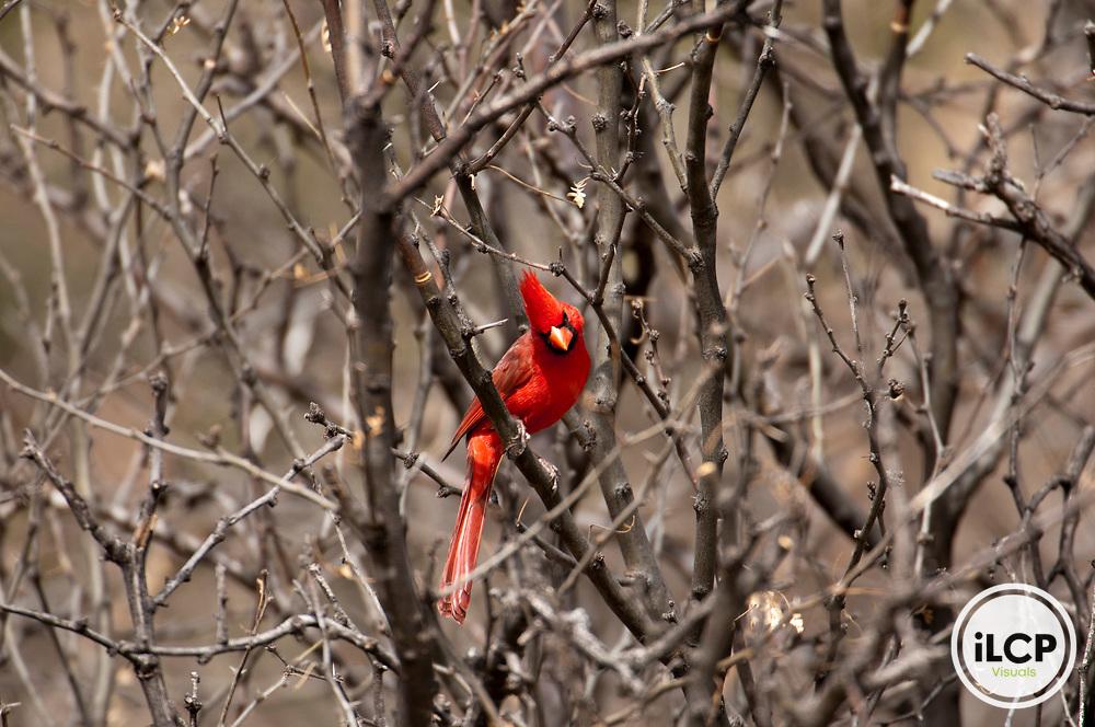 Northern Cardinal (Cardinalis cardinalis).