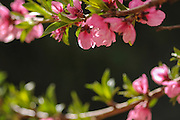 Pink blossoms on a Peach tree in an orchard. Photographed in Israel