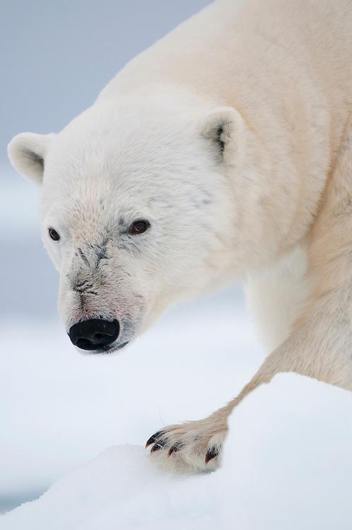 Polar bear (Ursus maritimus) on the sea ice. Svalbard 2012.