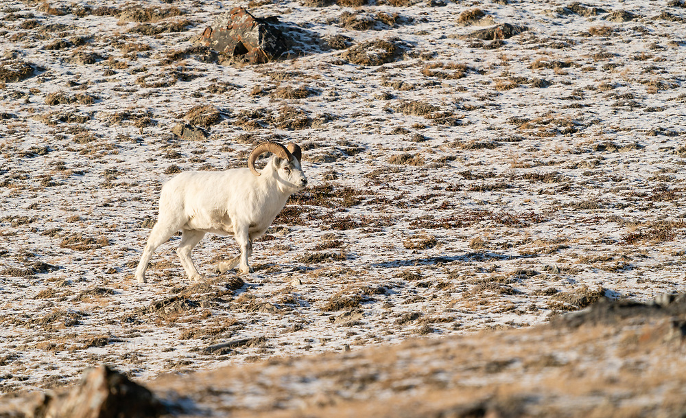 Male Dall Sheep (Ovis dalli) traversing Sheep Mountain in Kluane National Park in the Yukon Territory, Canada. Winter. Morning.