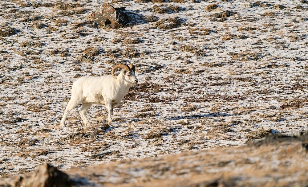 Male Dall Sheep (Ovis dalli) traversing Sheep Mountain in Kluane National Park in the Yukon Territory, Canada. Winter. Morning.