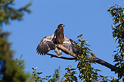A juvenile bald eagle (Haliaeetus leucocephalus) holds its wings out to its side, sunning itself after one of its early flights.