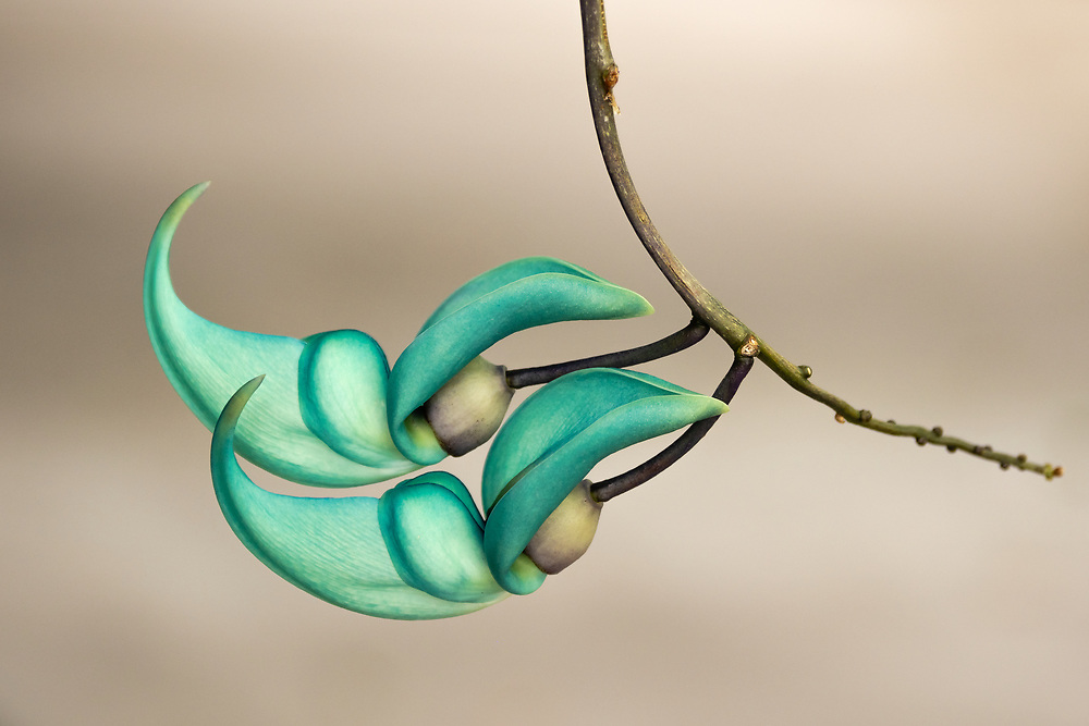Jade Vine (Strongylodon macrobotrys) buds at Sadie Seymour Botanical Garden in Hawaii. Winter. Morning.