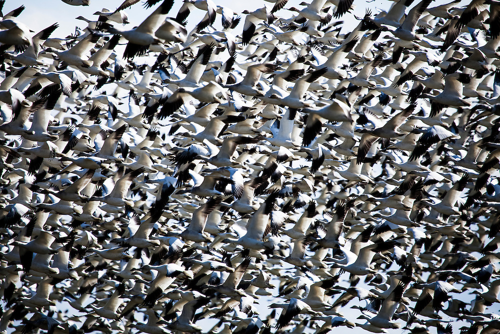 Birds of a Feather - Snow Geese - Skagit Valley, Washington Edition of 100 EXP0338