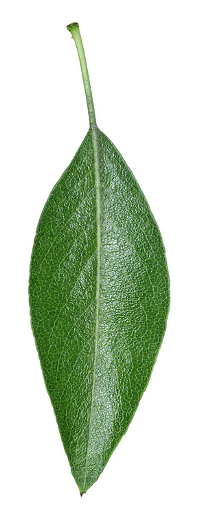 Almond-leaved Pear Pyrus amygdaliformis (Rosaceae) HEIGHT to 6m. Small tree. BARK Rough and scaly. BRANCHES Often dense and sparsely spiny with greyish, woolly young twigs. LEAVES To 8cm long, usually lanceolate with a sparsely toothed margin. Young leaves are downy, but full-grown leaves are shiny above and slightly downy below. REPRODUCTIVE PARTS White flower clusters open with the leaves. Thick-stalked fruits are rounded, to 3cm across, ripening dark yellow. STATUS AND DISTRIBUTION Native of SE Europe; planted here occasionally.