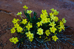 Showy Stoneseed (Lithospermum incisum), Arches National Park, Utah, US