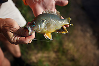 FLY ANGLER WITH A GREEN SUNFISH