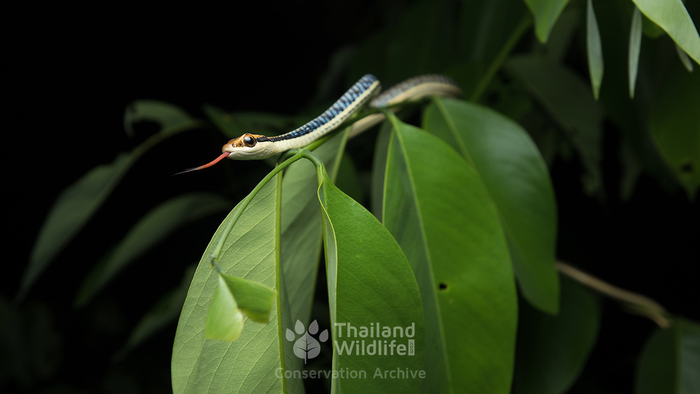 Painted Bronzeback (Dendrelaphis pictus) in Kaeng Krachan district, Thailand