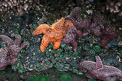 Orange and purple Ochre Sea Stars (Pisaster ochraceus) attached to the base of a sea stack, Ruby Beach, Olympic National Park, Washington, United States of America