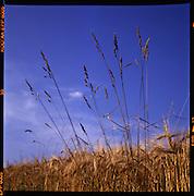 Getreidefeld im Sommer. Détail d'un champ de blé en été; field with crop in summertime. © Romano P. Riedo