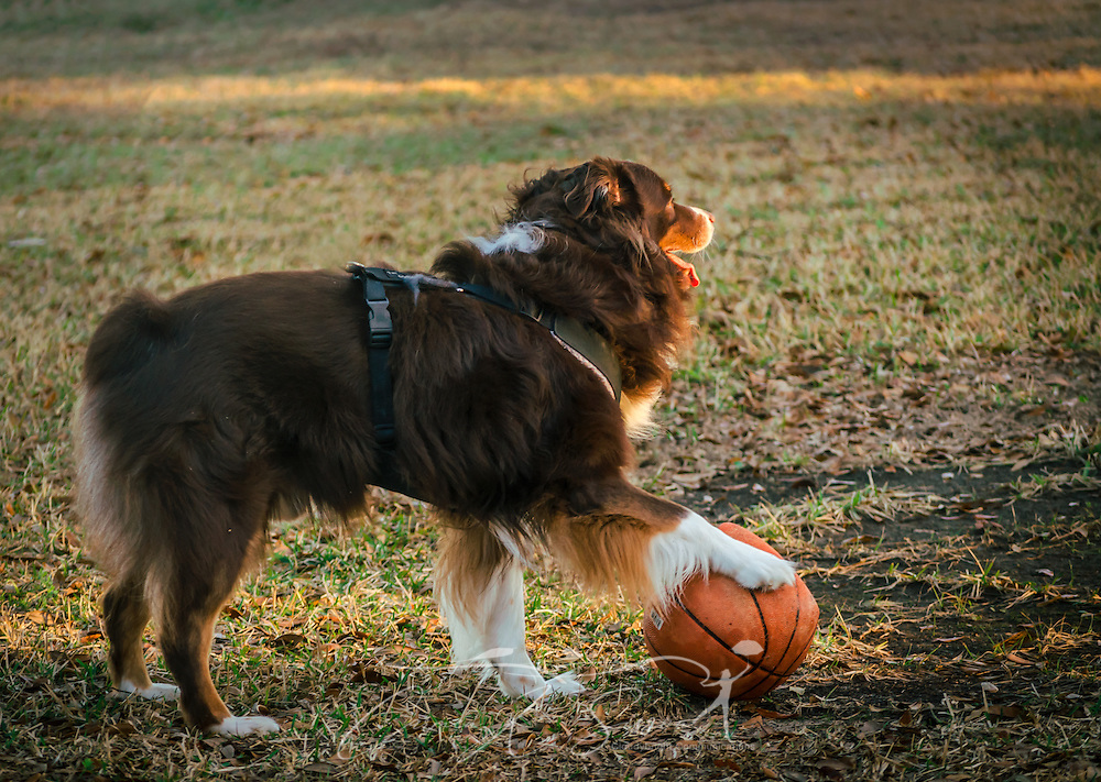 Cowboy, a six-year-old Australian Shepherd, takes a timeout from playing basketball, March 1, 2014, in Coden, Alabama. (Photo by Carmen K. Sisson/Cloudybright)