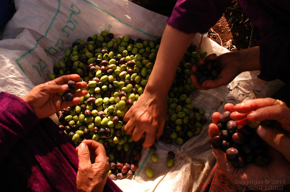 Members of the Toumeh family, pick through olives near the northern West Bank town of Qaffin, Wednesday, November 5, 2003. Due to the placement of the Israeli Security Fence, the Tomi family has to acquire a permit to get to this portion of their olive trees...Photo by Erin Lubin