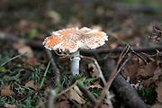 Star shaped orange amanita toadstool growing on forest floor, Rendlesham, Suffolk, England