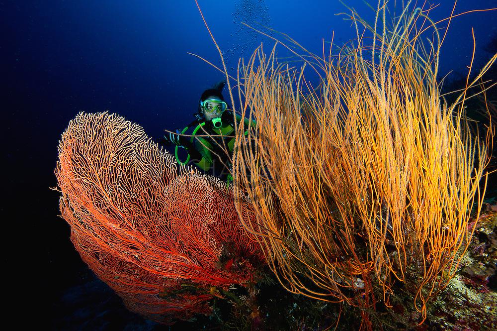 diver with Leptogorgia virgulata, colourful sea whip and tube sponges