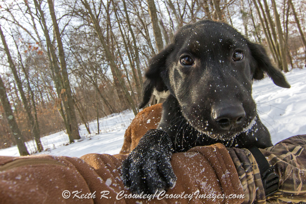 One of John Haugland's Labrador retriever puppies.
