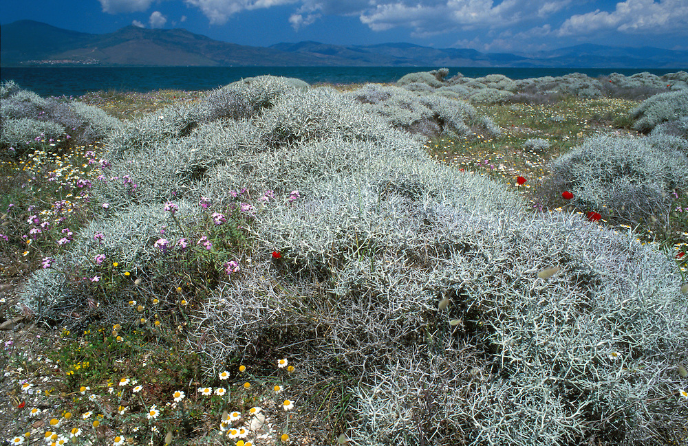 Mediterranean Dune Flora, Lesvos
