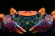 Vampire crab (Geosesarma spec.), Country of origin is Sulawesi. Crab, who is located nearby of rivers and lakes. It belongs to the most colorful crabs, legs are purple to blue, the scissors are purple with white ends, the eyes are bright orange; carapace width is approx 3 cm, because of the bright color and the small size it is a popular terrarium animal. Studio Shot, Goosefeld. / Vampirkrabbe (Geosesarma spec.); Herkunftsland ist Sulawesi. Landkrabbe, die sich in der Naehe von Fluessen und Seen aufhaelt. Sie zaehlt zu den farbigsten Krabben, die Beine sind lila bis blau, die Scheren sind lila mit weissen Enden, die Augen sind leuchtend orange; Panzerbreite betraegt ca. 3 cm; wg. der auffaelligen Faerbung und der geringen Groesse ist sie ein beliebtes Terrarientier. Studioaufnahme, Goosefeld.
