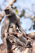 Indian Langur monkeys, Presbytis entellus, female and baby in Banyan Tree in Ranthambore National Park, Rajasthan, India