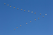 A flock of snow geese (Chen caerulescens) flies in an arrow formation over Fir Island in the Skagit Valley of Washington state.
