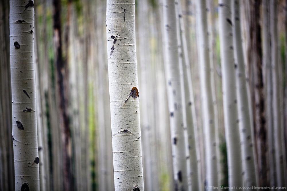 Aspen Trees in Colorado in the fall.
